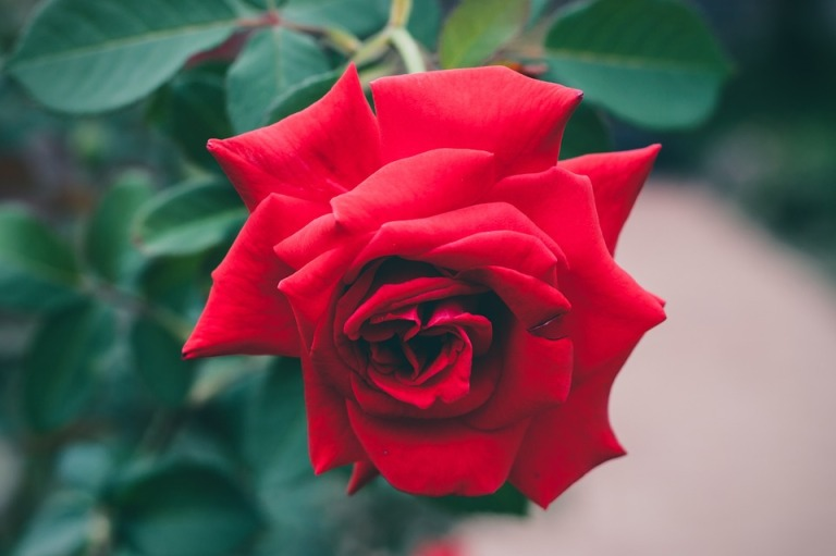 red-roses-1149940_960_720